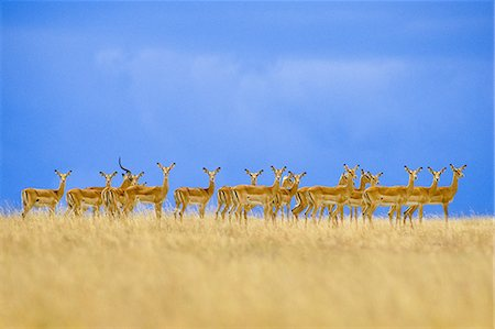 serengeti national park - Impalas alarmed, Aepyceros melampus, Serengeti National Park, Tanzania Stock Photo - Rights-Managed, Code: 878-07590609