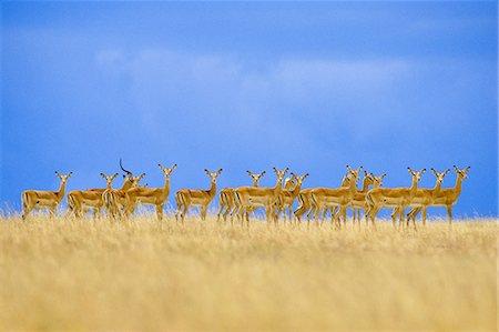 serengeti national park - Impalas alarmed, Aepyceros melampus, Serengeti National Park, Tanzania Stock Photo - Rights-Managed, Code: 878-07590609