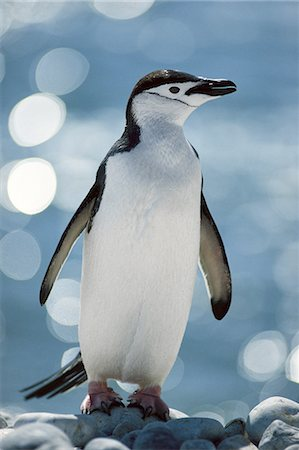 snow - Chinstrap penguin, Pygoscelis antarctica, South Georgia Island Stock Photo - Rights-Managed, Code: 878-07591205