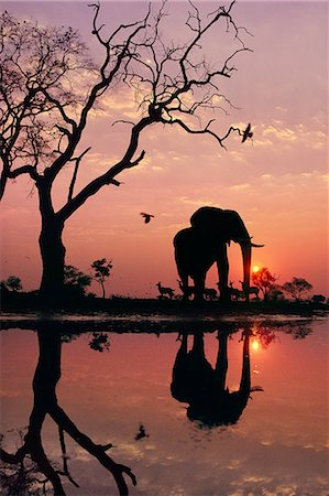 endangered animal - African elephant at dawn, Loxodonta africana, Chobe National Park, Botswana Stock Photo - Rights-Managed, Code: 878-07591211