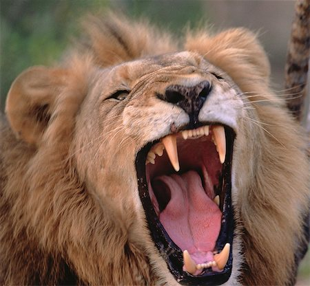 Close-Up of Lion Roaring Stock Photo - Rights-Managed, Code: 873-06440168