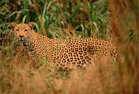 Portrait of Leopard in Long Grass Stock Photo - Rights-Managed, Code: 873-06440193