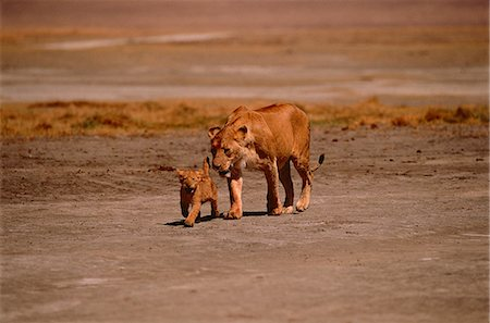 Lioness with Cub Stock Photo - Rights-Managed, Code: 873-06440201