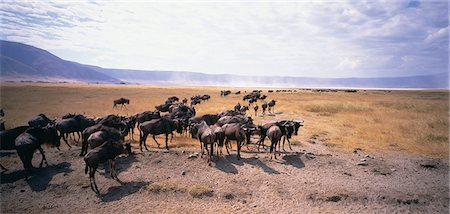 serengeti national park - Wildebeest Serengeti, Tanzania Stock Photo - Rights-Managed, Code: 873-06440219