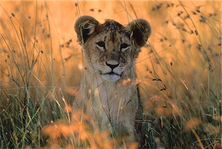 Portrait of Lion Cub in Tall Grass Stock Photo - Rights-Managed, Code: 873-06440225