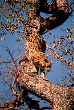 Leopard Crawling Down Tree Branch Stock Photo - Rights-Managed, Code: 873-06440232