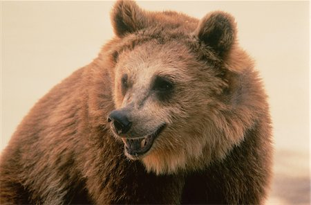 Growling Bear Stock Photo - Rights-Managed, Code: 873-06440241