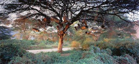Acacia Trees Tanzania Stock Photo - Rights-Managed, Code: 873-06440354