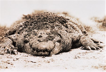 dirt - Crocodile on Ground, Covered in Mud Stock Photo - Rights-Managed, Code: 873-06440368