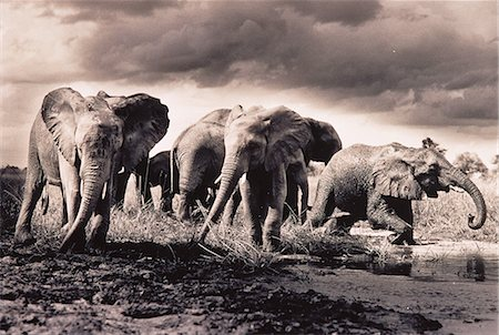 Herd of Elephants Crossing River Stock Photo - Rights-Managed, Code: 873-06440369