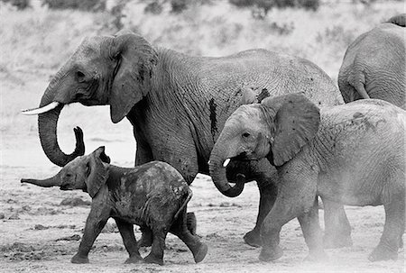 Elephant Family Walking in Mud Stock Photo - Rights-Managed, Code: 873-06440376