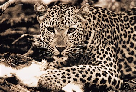 Portrait of Leopard with Prey Stock Photo - Rights-Managed, Code: 873-06440373