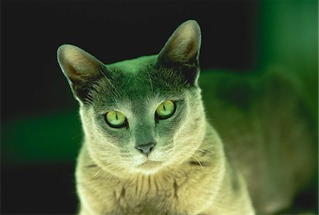 domestic - Portrait of Cat Sitting under Green Light Stock Photo - Rights-Managed, Code: 873-06440382