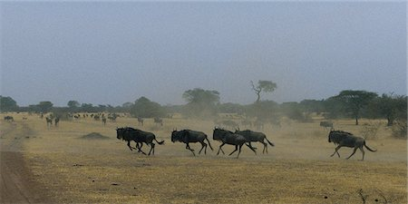 serengeti national park - Herd of Wildebeest Running Through Field Serengeti, Tanzania, Africa Stock Photo - Rights-Managed, Code: 873-06440429