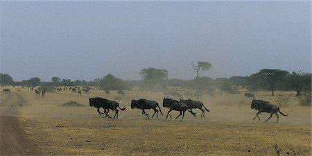 serengeti national park - Herd of Wildebeest Running Through Field Serengeti, Tanzania, Africa Stock Photo - Rights-Managed, Code: 873-06440429