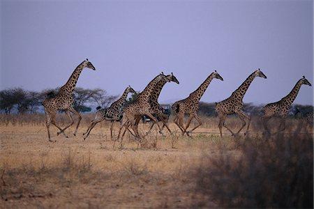 serengeti national park - Herd of Giraffe Running through Field, Serengeti, Tanzania Africa Stock Photo - Rights-Managed, Code: 873-06440430