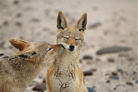 Black-Backed Jackals Sniffing Namibia, Africa Stock Photo - Rights-Managed, Code: 873-06440507