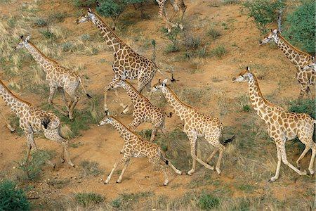 Aerial View of Giraffe Herd Running Erindi, Namibia, Africa Stock Photo - Rights-Managed, Code: 873-06440534