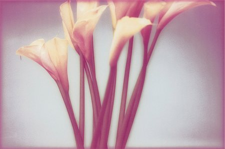 Calla Lilies Stock Photo - Rights-Managed, Code: 873-06440778