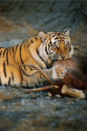 Tiger with Prey Stock Photo - Rights-Managed, Code: 873-06440954