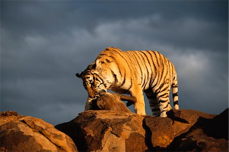 Tiger with Prey Stock Photo - Rights-Managed, Code: 873-06440955