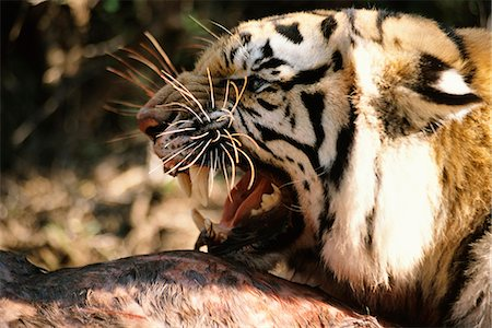 Snarling Tiger with Prey Stock Photo - Rights-Managed, Code: 873-06440953