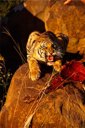 Tiger with Prey, Karoo, South Africa Stock Photo - Rights-Managed, Code: 873-06440961