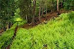 Fougères le long des bois Shampers Bluff, Nouveau-Brunswick Canada