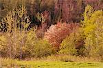 Forêt de printemps, gris Mills, New Brunswick, Canada