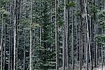 Forêt de pins, le Parc National Banff, Alberta, Canada
