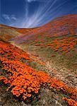 Pavot de Californie et de fleurs sauvages Antelope Valley, California, USA
