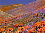 Fleurs sauvages Antelope Valley, California, USA