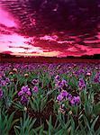 Champ d'iris au coucher du soleil Sliverton, Oregon, Etats-Unis