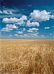 Wheat Field Near Eatonia, Saskatchewan Canada