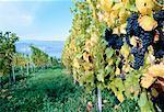 Vineyard Penticton, British Columbia Canada
