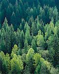 Forêt mixte près de Creston, en Colombie-Britannique Canada