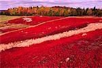 Blueberry Field in Autumn Kingston Creek New Brunswick, Canada
