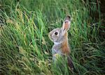 Rabbit Grasslands National Park Saskatchewan, Canada