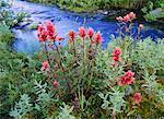 Indian Paintbrush Sheep Creek, Northern Rockies British Columbia, Canada