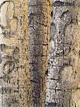 Gros plan du peuplier arbres Colombie-Britannique, Canada