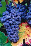 Close-Up of Grapes Austria