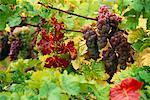 Raisins sur la vigne Autriche