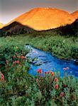 Asclépiade tubéreuse de flux à Sunrise, Sheep Creek, Rocheuses du Nord, en Colombie-Britannique, Canada