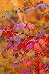Close-Up of Autumn Leaves Margaree Valley Nova Scotia, Canada