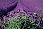 Gros plan de lavande champ Provence, France