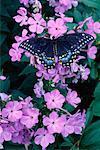 Eastern Black Swallowtail Butterfly et Phlox fleurs Toronto, Ontario, Canada