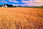Wheat Field, Orwell Cove Prince Edward Island, Canada