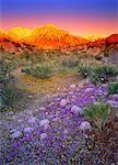 Fleurs sauvages au lever du soleil Tuttle Creek, Alabama Hills en Californie, USA