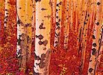 Aspens automne près de Fort St. John (Colombie-Britannique), Canada