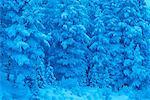 Snow Covered Trees Jasper National Park Alberta, Canada